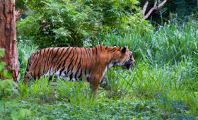 Tiger Mysore Balaji Tour Packages