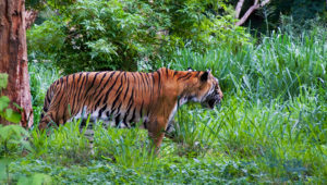 Tiger Mysore Balaji Tour Packages